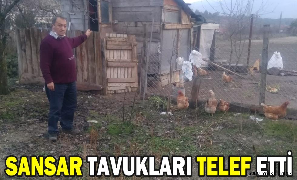 SANSAR TAVUKLARI TELEF ETTİ